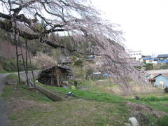 Kuyotonosakura2