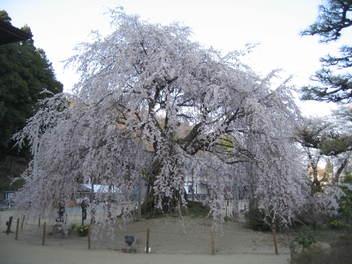 Ominosakura